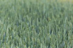 Pole zielony wheatfield Zdjęcie Stock