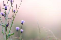 Pole, zmierzch, mgła i kwitnąć łopianowego Bush naturalnego backgrou, obrazy stock