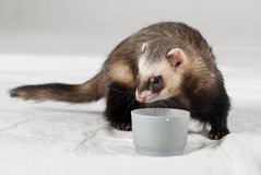 Polecat. Shoot made in studio on white background royalty free stock photo