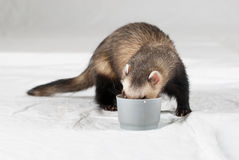 Polecat. In studio on white background royalty free stock photography
