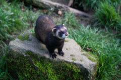 Polecat Royalty Free Stock Image