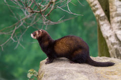 Polecat Royalty Free Stock Images