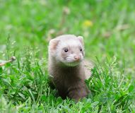 Polecat. Royalty Free Stock Photo