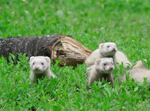Polecat. Stock Photography