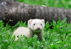 Polecat. Stock Photo