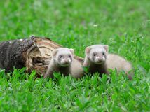 Polecat. Stock Photos