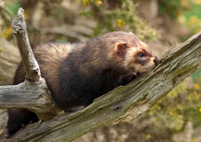 polecat Photo stock