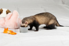 Polecat ate from cup. Around toys made in studio on white background royalty free stock photo