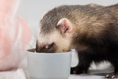 Polecat ate from cup Royalty Free Stock Photography