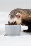Polecat ate from cup Stock Photography