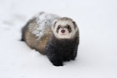 Polecat Royalty Free Stock Photos
