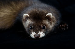 Polecat close up Stock Photos