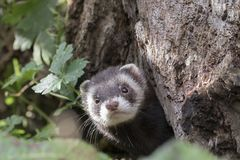 Free Polecat Close Up Portrait By Log Hunting Royalty Free Stock Image - 103336046
