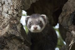 Polecat close up portrait by log hunting stock image