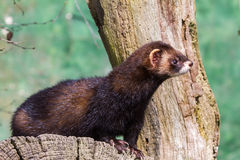Polecat Stock Photography