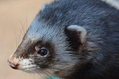 Polecat closeup. A polecat face closeup in nature Royalty Free Stock Photo