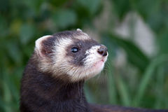 Polecat-coloured Ferret. Looking at the photographer stock photos