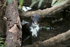 Polecat-coloured Ferret Stock Photography