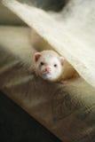 Polecat on divan Royalty Free Stock Photo