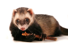 Polecat eating. Polecat (ferret) hold in one's paw food and eat it stock images