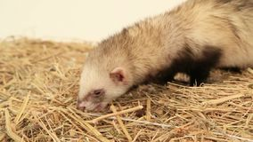 Polecat Eating. Slow Motion stock footage