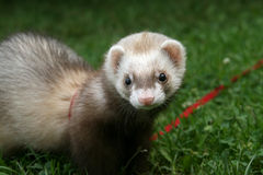 Polecat in the grass Stock Photo