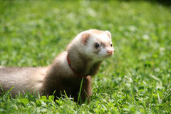 Polecat in the grass Stock Photography