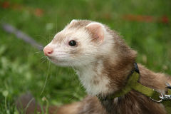Polecat in the grass. Ferret polecat pet in the grass royalty free stock photo