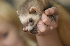 Polecat in a hand Royalty Free Stock Images