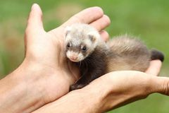 Polecat on hand Stock Images
