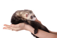 Polecat on a hand Royalty Free Stock Images