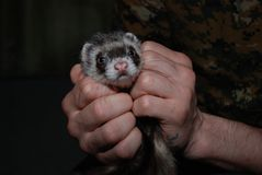 Polecat in the hands of the man stock photo