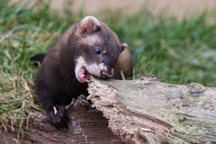 Polecat Kit Biting Royalty Free Stock Images