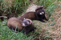 Polecat Kits Royalty Free Stock Image
