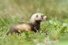 Polecat Mustela putorius Royalty Free Stock Photo