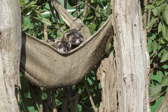 Polecat (Mustela putorius) Stock Photography