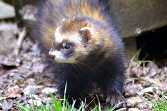 Polecat Stock Photo