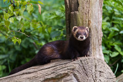 Polecat Royalty Free Stock Photo