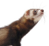 Polecat portrait Stock Photos