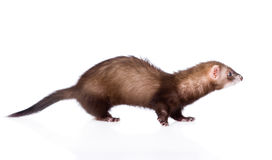 Polecat in profile. isolated on white background.  stock image