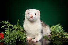Polecat puppy lies in fern leaves. On a green background. Animal themes royalty free stock photo