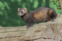 Polecat (putorius Mustela) Стоковая Фотография RF