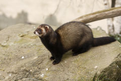 Polecat, Putorius putorius Stock Photo