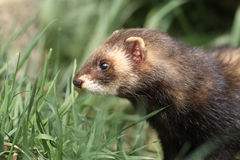 Polecat, Putorius putorius Royalty Free Stock Images