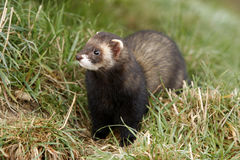 Polecat, Putorius putorius Royalty Free Stock Photo