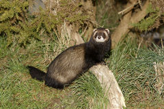 Polecat, Putorius putorius Royalty Free Stock Photography