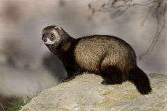 Polecat, Putorius putorius Royalty Free Stock Photos