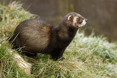Polecat, Putorius putorius Stock Photos