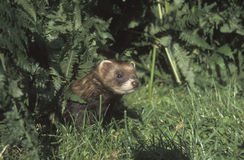 Polecat, Putorius putorius Stock Photography