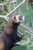 Polecat, Putorius putorius Stock Images